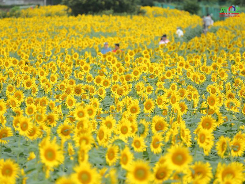 Say mê trước vẻ đẹp của cánh đồng hoa hướng dương vào mùa thu Nhật Bản