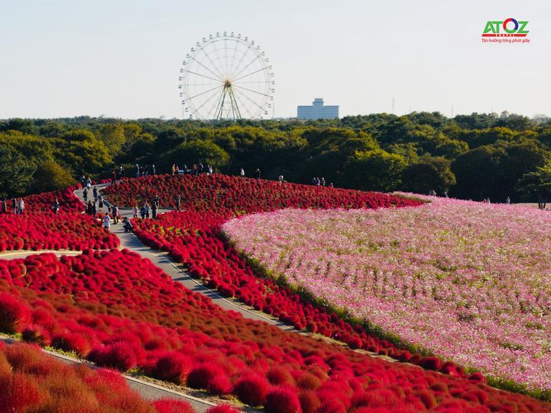Rực rỡ mùa thu Nhật Bản với Lễ hội hoa Kochia