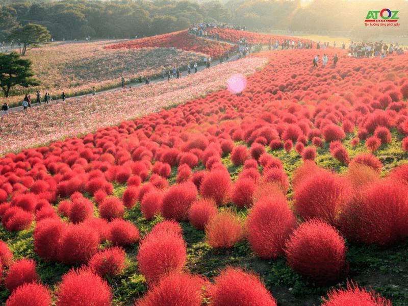Cỏ Kochia đỏ rực khi vào thu tại công viên Hitachi Nhật Bản