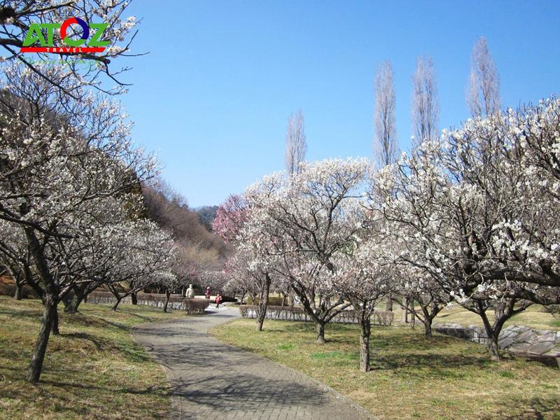 Những tọa độ ngắm hoa mơ đẹp nhất Tokyo Nhật Bản